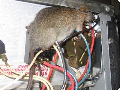 comment se d barasser des rats les causes d infestation et nos solutions. Black Bedroom Furniture Sets. Home Design Ideas